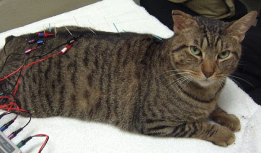 Snoopy the cat gets and acupuncture session.