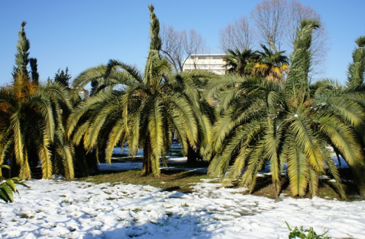 Winter in Sochi: Palm trees and (a tiny bit) of snow (Photo: Andrey Selskiy)
