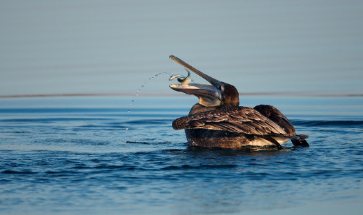 A pelican eating a Menhaden. Credit John B. Spohrer, Jr.