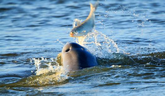 dolphin tossing fish Credit: John B. Spohrer, Jr.