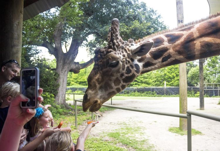 World Giraffe Day at Audubon Zoo (Photo: Hanna Rasanen)