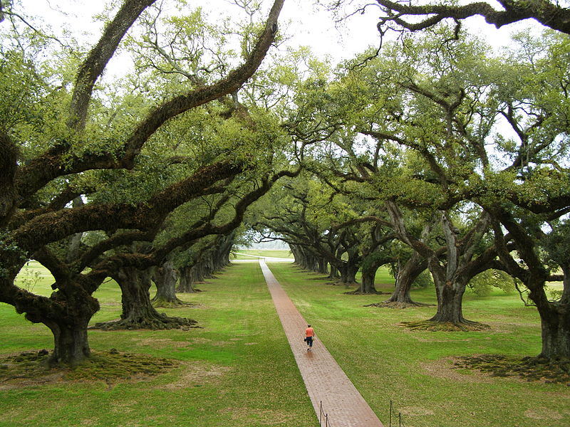 Louisiana trees have a special a special character. Pictured: Oak Alley Plantation.