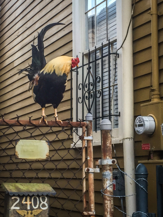 This rooster, abandoned by his keepers, roams the Marigny. He likes to sit on this gate in the late afternoon. Photo: Courtney Kearney