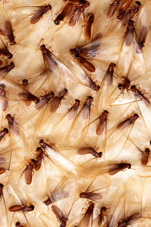 NOLA The (Horror) Movie: Who needs vampires when you've got termites swarming? (Photo: Agricultural Research Service of the U.S. Department of Agriculture)