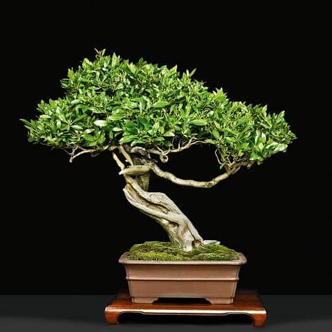 Discover the Art of Bonsai Trees in Tokyo As Your New Favorite Hobby